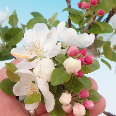 Outdoor Bonsai - Malus halliana - Kleiner Apfel 408-VB2019-26749 - 2