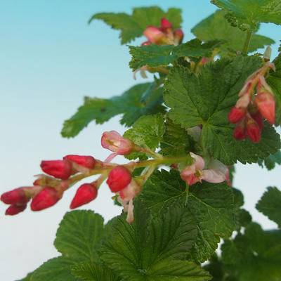 Bonsai im Freien - Blut Johannisbeere - Ribes sanguneum VB2020-780 - 2
