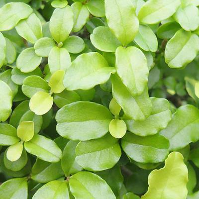 Indoor bonsai -Ligustrum retusa - small-leaved bird's beak - 2