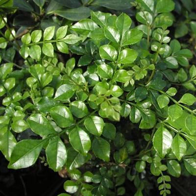 Zimmer Bonsai - Fraxinus uhdeii - room Ash - 2