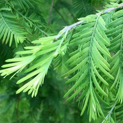 Bonsai im Freien - Metasequoia glyptostroboides - Chinesische Metasequoia VB2020-814 - 2