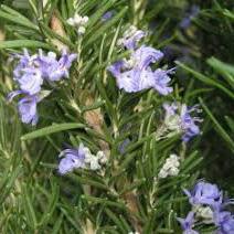 Zimmerbonsai - Rosmarin-Rosmarinus officinalis - 2