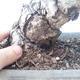 Pinus parviflora - Kleinblumige Kiefer VB2020-125 - 3/3