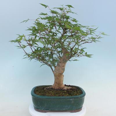 Pinus parviflora - Kleinblumige Kiefer VB2020-121 - 3