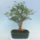Pinus parviflora - Kleinblumige Kiefer VB2020-121 - 3/3