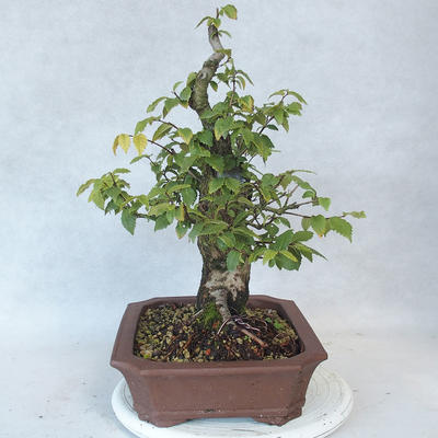 Outdoor Bonsai-Ulmus Glabra-Massiver Ton - 3