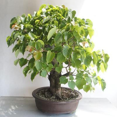 Bonsai im Freien - Linden - Tilia cordata - 3