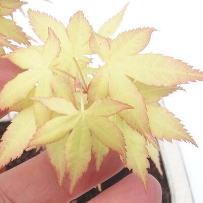 Outdoor Bonsai - Acer Kumpel. Sango Kaku - Palmahorn - 3