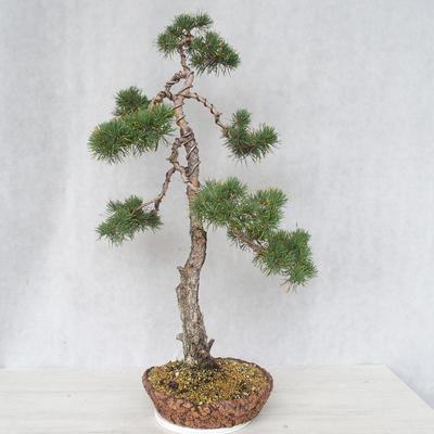 Bonsai im Freien - Pinus Sylvestris - Waldkiefer - 3