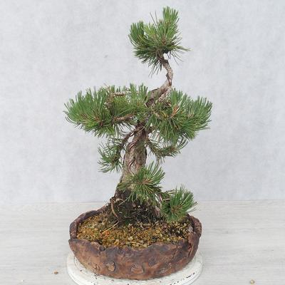 Bonsai im Freien - Pinus Mugo - kniende Kiefer - 3