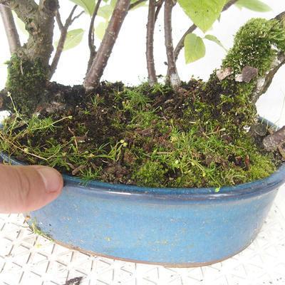 Bonsai im Freien - Vogelkirsche - Prunus Padus - 3
