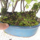 Bonsai im Freien - Vogelkirsche - Prunus Padus - 3/3