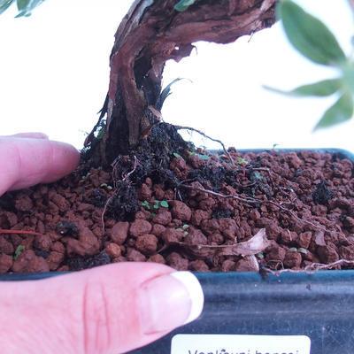 Outdoor-Bonsai Strauch -Mochna - Potentilla fruticosa - 3