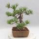 Bonsai im Freien - Pinus sylvestris - Waldkiefer - 3/4
