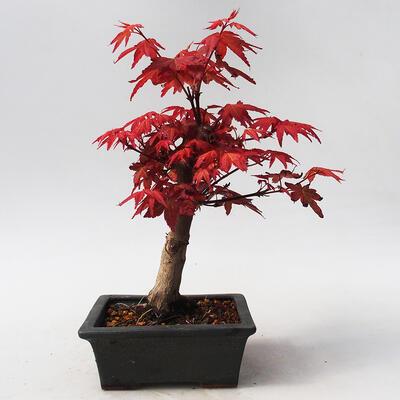 Bonsai im Freien - Maple palmatum DESHOJO - Japanischer Ahorn - 3