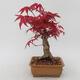 Bonsai im Freien - Maple palmatum DESHOJO - Japanischer Ahorn - 3/5