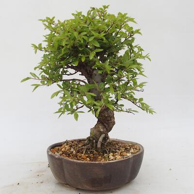 Bonsai im Freien - Zelkova - Zelkova NIRE - 3