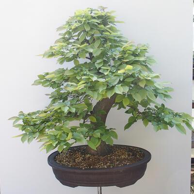 Outdoor-Bonsai - Hainbuche - Carpinus betulus - 3