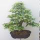 Outdoor-Bonsai - Hainbuche - Carpinus betulus - 3/5