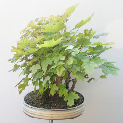 Acer campestre, acer platanoudes - Babyahorn, Ahorn - 3