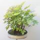 Acer campestre, acer platanoudes - Babyahorn, Ahorn - 3/4