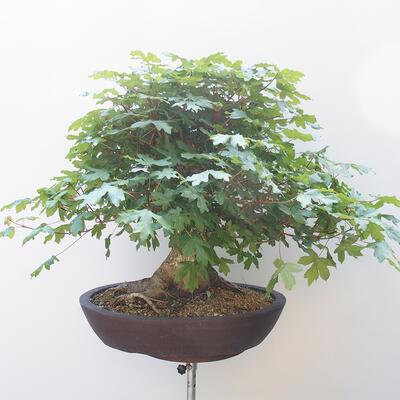 Acer campestre - Baby-Ahorn - 3