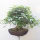 Acer campestre - Baby-Ahorn - 3/5