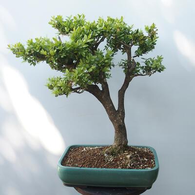 Outdoor-Bonsai - Buchsbaum - 3