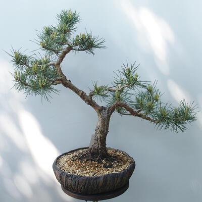 Outdoor-Bonsai - Pinus sylvestris Watereri - Waldkiefer - 3