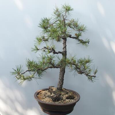 Outdoor-Bonsai - Pinus sylvestris - Waldkiefer - 3