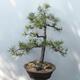 Outdoor-Bonsai - Pinus sylvestris - Waldkiefer - 3/4
