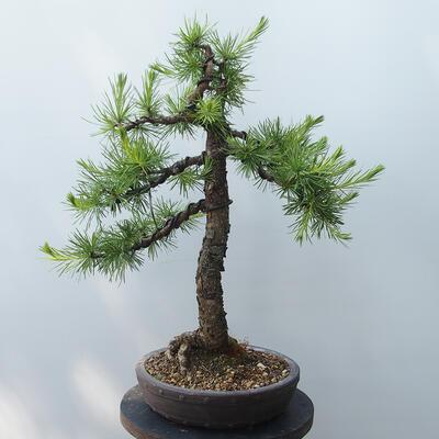 Outdoor-Bonsai - Larix decidua - Lärche - 3