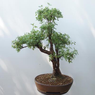 Outdoor-Bonsai - Fingerkraut - Potentila fruticosa gelb - 3