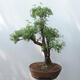 Outdoor-Bonsai - Fingerkraut - Potentila fruticosa gelb - 3/5