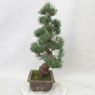 Bonsai im Freien - Pinus parviflora - kleinblumige Kiefer - 3