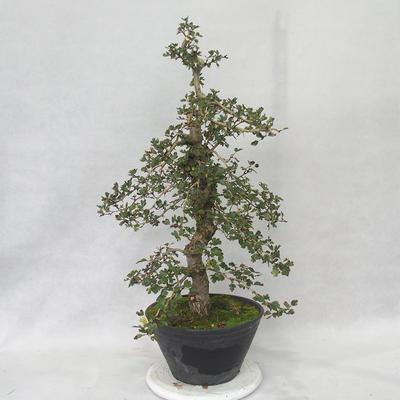 Outdoor Bonsai - Weißdorn rosa Blüten - Crataegus laevigata Pauls Scarlet - 3