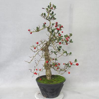 Bonsai im Freien - Weißblumen des Weißdorns - Crataegus laevigata - 3