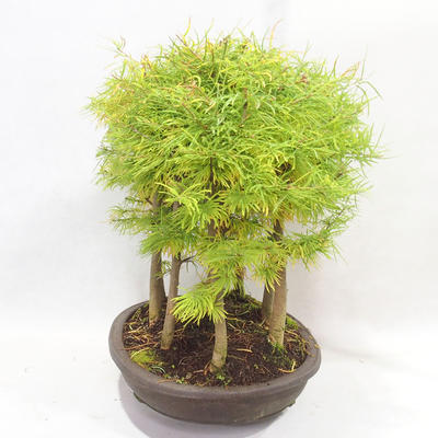 Bonsai im Freien - Pseudolarix amabilis - Pamodřín - Hain mit 9 Bäumen - 3