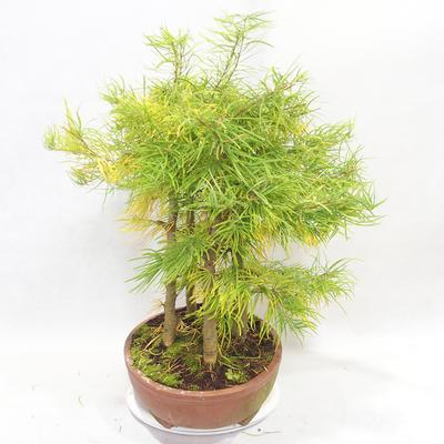 Bonsai im Freien - Pseudolarix amabilis - Pamodřín - Hain mit 5 Bäumen - 3