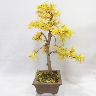 Bonsai im Freien - Pseudolarix amabilis - Pamodřín - 3