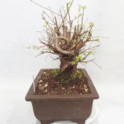 Outdoor Bonsai -Mahalebka - Prunus Mahaleb - 3
