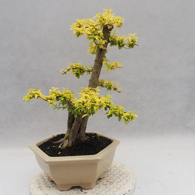 Indoor Bonsai -Ligustrum Aurea - Vogelschnabel - 3