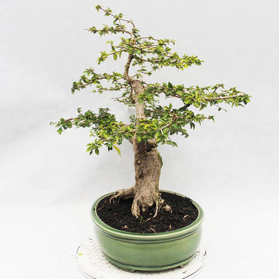 Indoor-Bonsai - Cudrania equisetifolia - 3