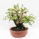 Indoor-Bonsai - Cudrania equisetifolia - 3/5