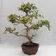 Zimmer Bonsai - Australische Kirsche - Eugenia uniflora - 3/5
