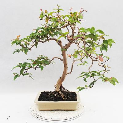 Zimmer Bonsai - Australische Kirsche - Eugenia uniflora - 3
