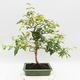 Zimmer Bonsai - Australische Kirsche - Eugenia uniflora - 3/4