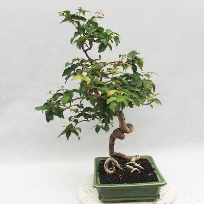 Indoor Bonsai - Australische Kirsche - Eugenia uniflora - 3