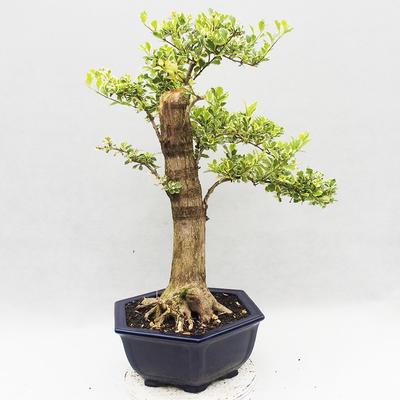 Innenbonsai - Duranta erecta Variegata - 3