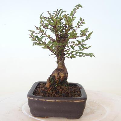Outdoor-Bonsai - Ulmus parvifolia SAIGEN - Kleinblättrige Ulme - 3